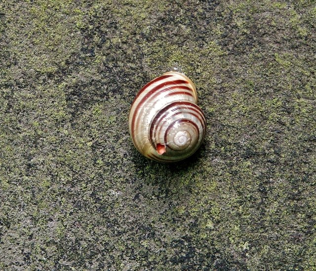 Land snail (Cepaea nemoralis)