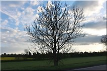 SP6359 : Tree on the A5, Weedon Bec by David Howard