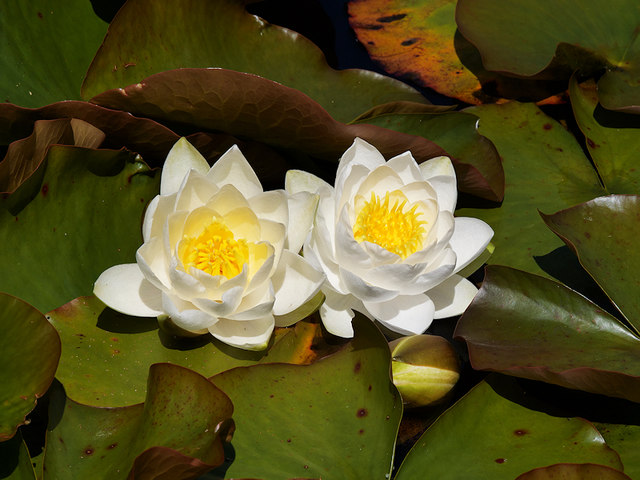 Water Lilies at Haigh Country Park