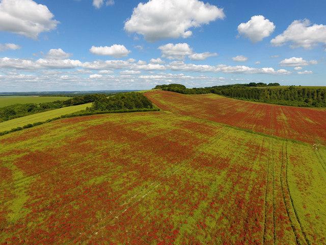 Poppy fields on Telegraph Hill