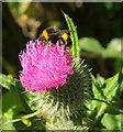SS2004 : Bee on thistle, Upton Park by Derek Harper