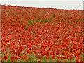 SK2472 : A field of red poppies by Graham Hogg
