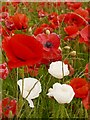 SK2472 : Red and white poppies by Graham Hogg