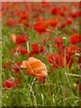 SK2472 : A solitary peach poppy in a field of red by Graham Hogg