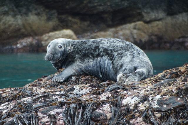 Grey Seal (Halichoreus grypeus), Nousta Ness, Fetlar