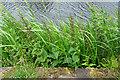 NS5867 : Water Figwort (Scrophularia auriculata) by Anne Burgess