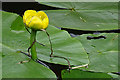 NS5767 : Yellow Water-lily (Nuphar lutea) by Anne Burgess