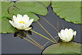 NS5768 : White Water-lily (Nymphaea alba) by Anne Burgess