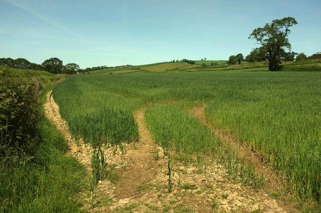 Oats near Bicknor Farm