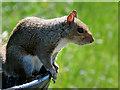SD8203 : Grey Squirrel at Heaton Park by David Dixon