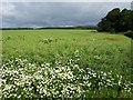 NT6327 : Daisies and oilseed rape by Philip Halling