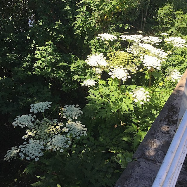 Giant Hogweed flourishing by the river, Clyde Street, Glasgow