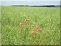 SE5085 : Poppies  in  a  Rape Seed  field  on  Hambleton  Mosses by Martin Dawes