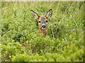 NW9761 : Young deer by Oliver Dixon