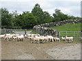 NX4856 : Sheep at Kirkmabreck by M J Richardson