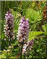 SX9066 : Orchids, Nightingale Park by Derek Harper