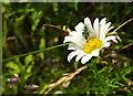 SX9066 : Beetle on ox-eye daisy, Nightingale Park by Derek Harper