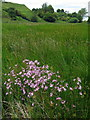 NT9827 : Ragged robin near Waud House by Andrew Curtis
