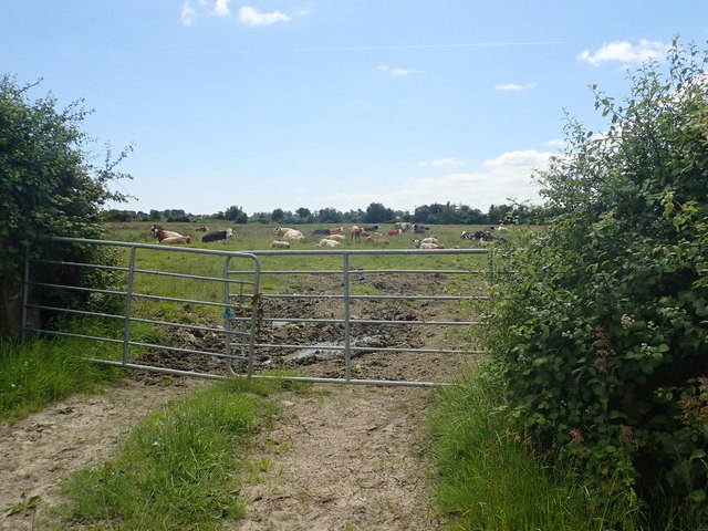 Cattle on reclaimed marshland to the South of Racecourse Road