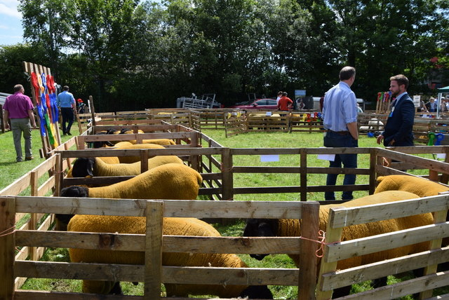 Suffolk sheep - 179th Omagh Annual Agricultural Show 2019