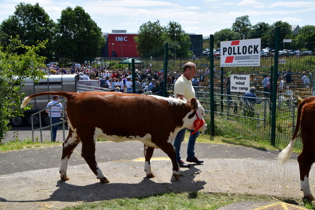 Leading a bullock - 179th Omagh Annual Agricultural Show 2019