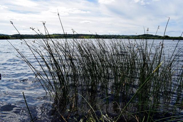 Reeds, Lough Erne