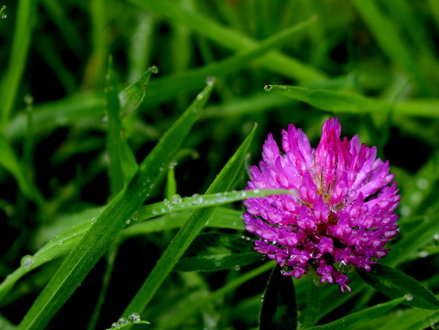 Wet clover head