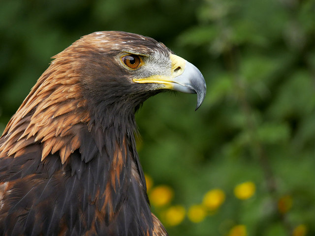 Isla the Golden Eagle