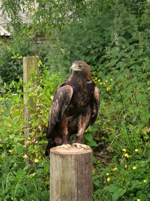 Golden Eagle, Shropshire Falconry