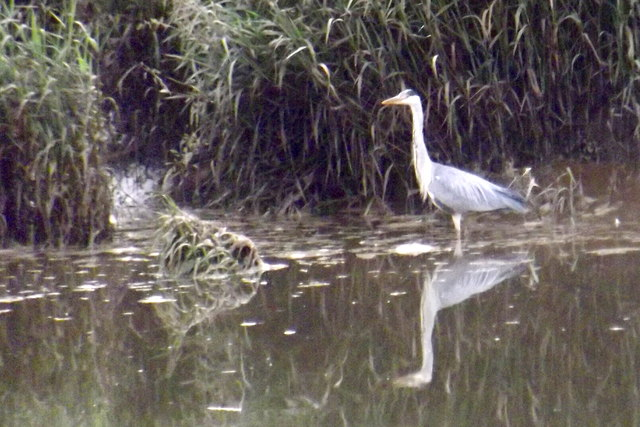 Heron at Kingholm