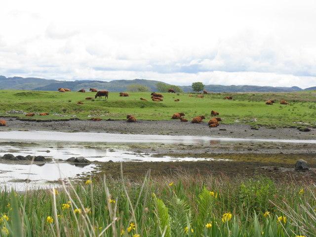 Luing cattle at Ardinamir Bay