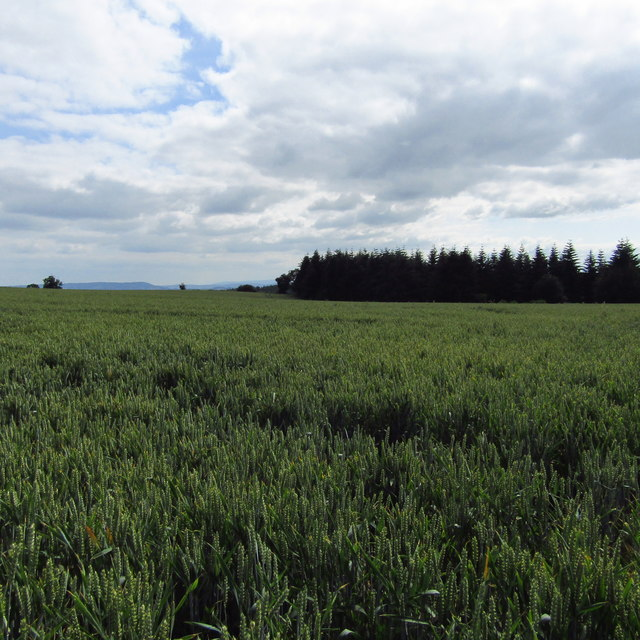 Wheat above Blackthorn Wood