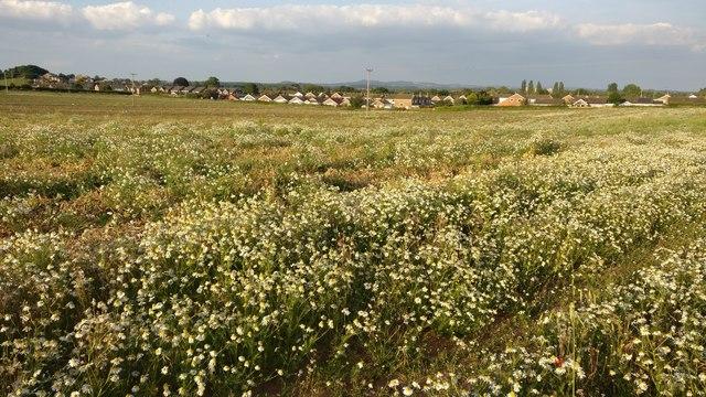 Daisies on the edge of Kidderminster