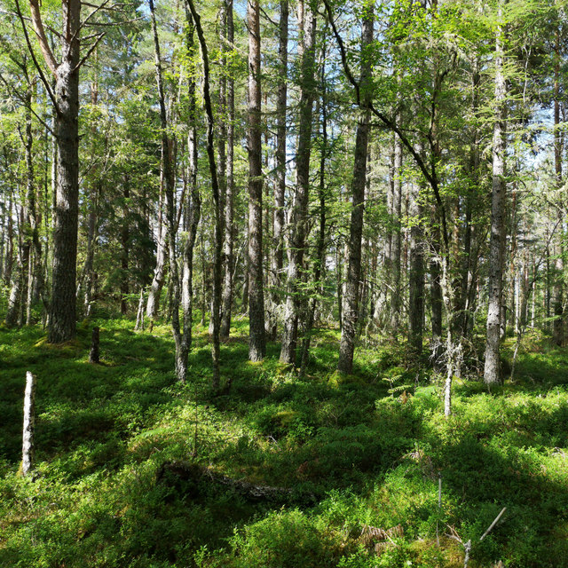 Bilberry vegetation, Clash Wood