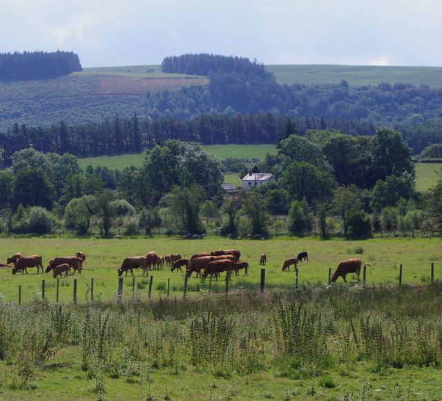 Cattle in a meadow by Perthi Common
