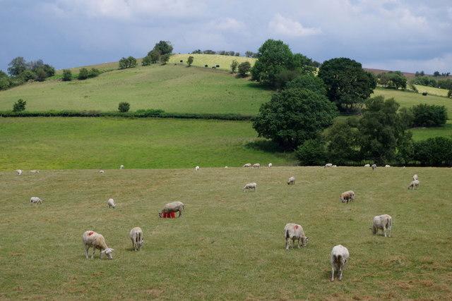 Field of sheep near Llansantffraed-in-Elwel