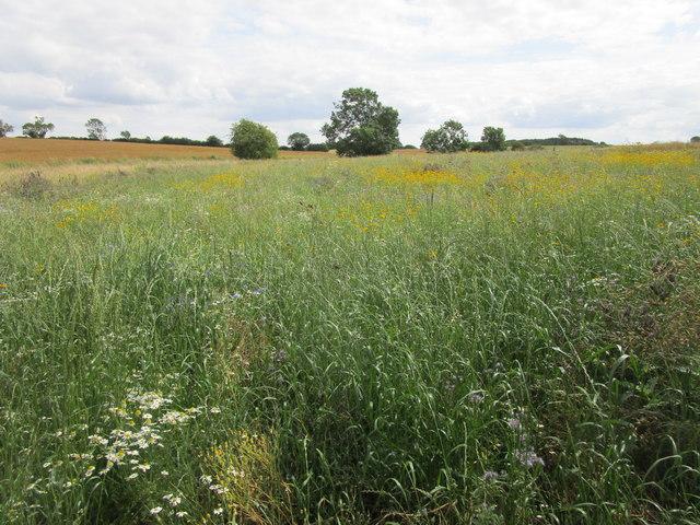 Wildflower meadow near Pickworth