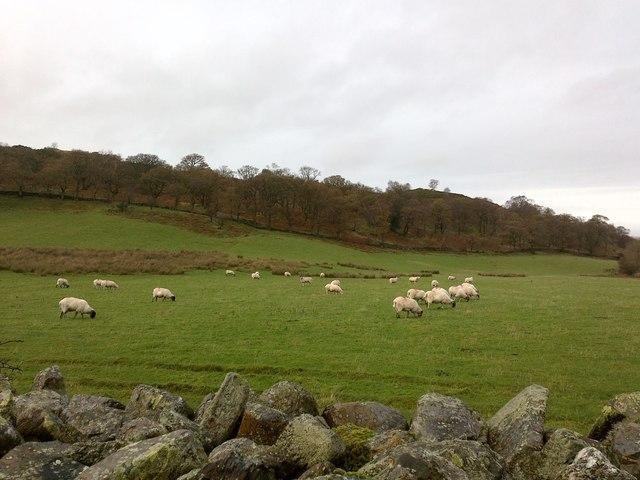 Sheep at Lanthwaite Gate