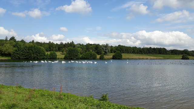 Angles Way - swans on lake in restored gravel pit Flixton/Homersfiled