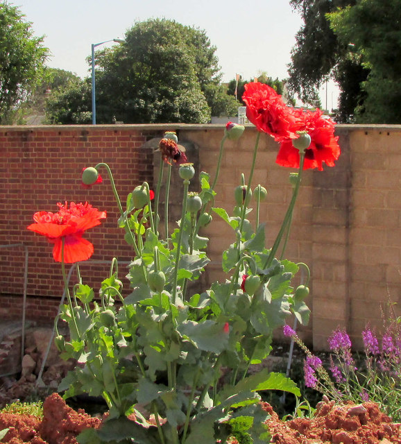 Poppies, Building site, St Marychurch