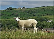 SK2076 : Another sheep below Bretton Mount by Neil Theasby