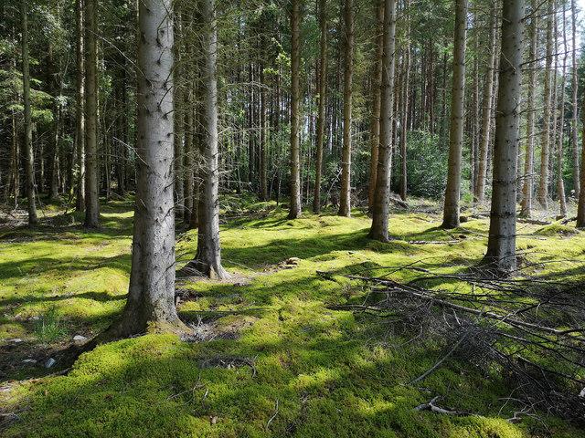 Woodland floor below Norway Spruce, Tullich Wood