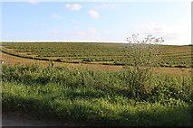 TL4424 : Field by Albury Road, Clapgate by David Howard