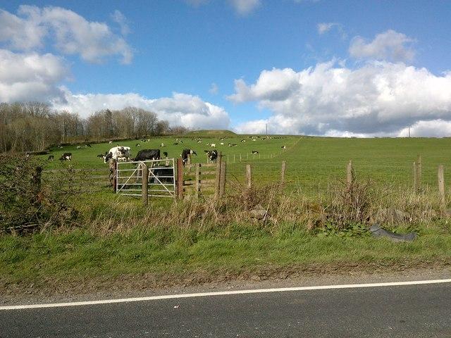 Cow Field near Mouswald