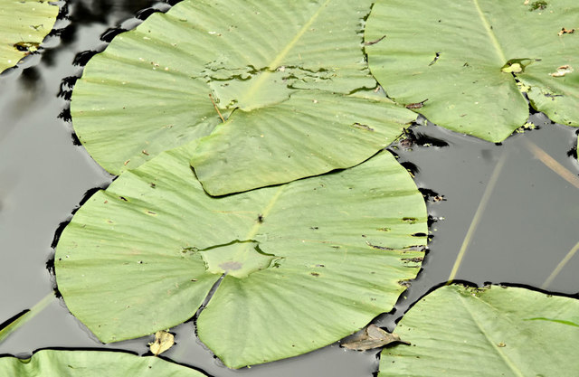 Water lilies, River Lagan, Belfast - July 2019(1)