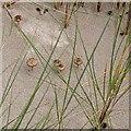 NH9057 : Psathyrella ammophila by valenta