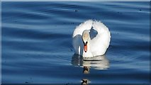 SC2667 : Swan at Castletown harbour, Isle of Man by Patrick Hamilton