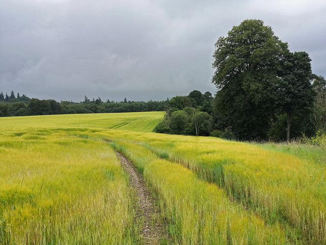 Barley field by Rhivendell