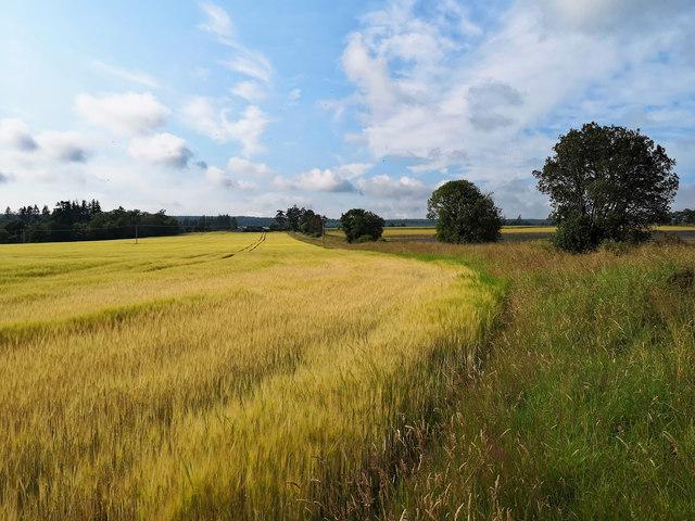 Barley field by Burnfarm, Black Isle