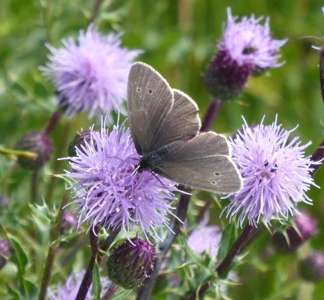 Ringlet butterfly, Aphantopus hyperantus
